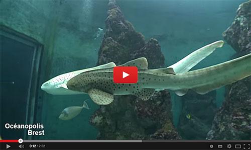 Naissance d'un requin zèbre à Océanopolis Brest.